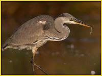 Heron Ardeidae Pictures