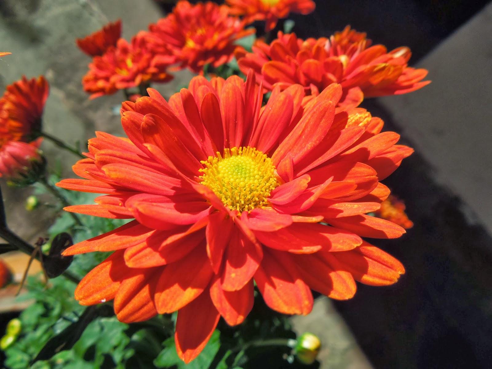 CRISANTEMO como nace una flor - BOTÀNIC SERRAT