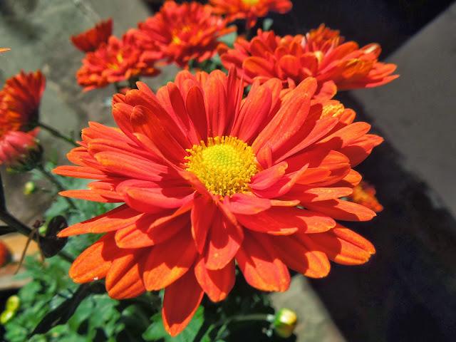 Crisantemo como nace una flor bot nic serrat - Como cultivar crisantemos ...