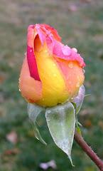 September Rose 9/11