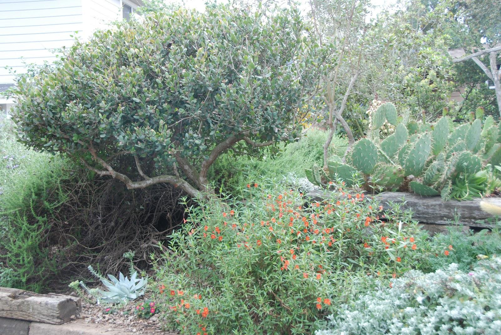 A California Native Plant Garden In San Diego County More Chaparral Shrubs For The Garden