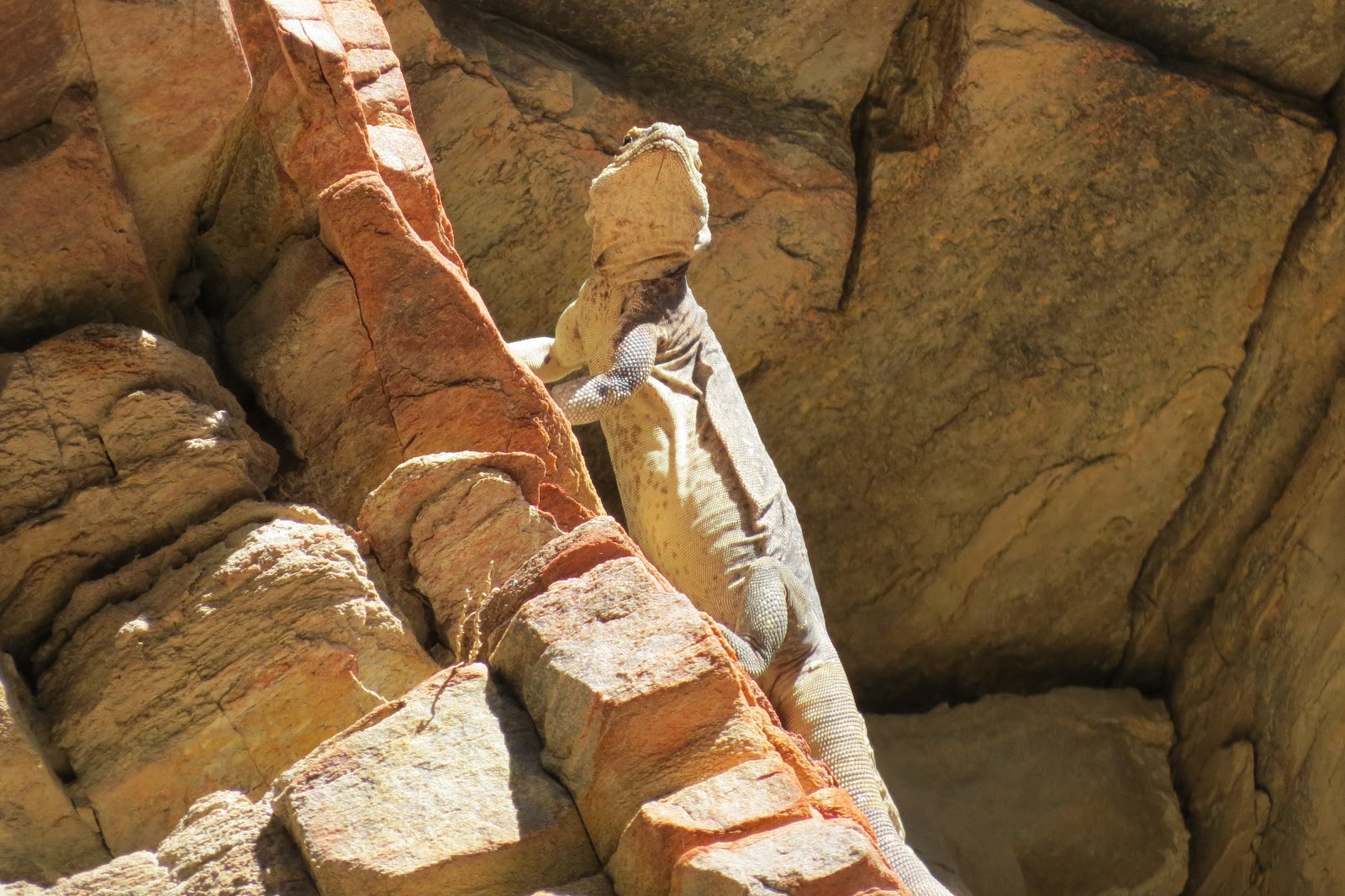 Indian Canyon chuckwalla