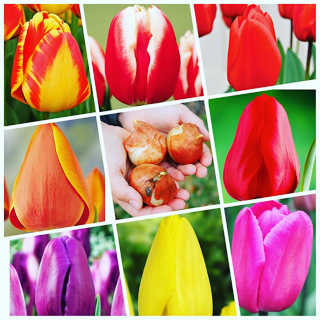 Củ giống hoa Tulip 2015 Cu%2Bgiong%2Bhoa%2B8%2Bmau
