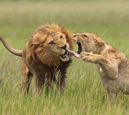 Lion+fighting