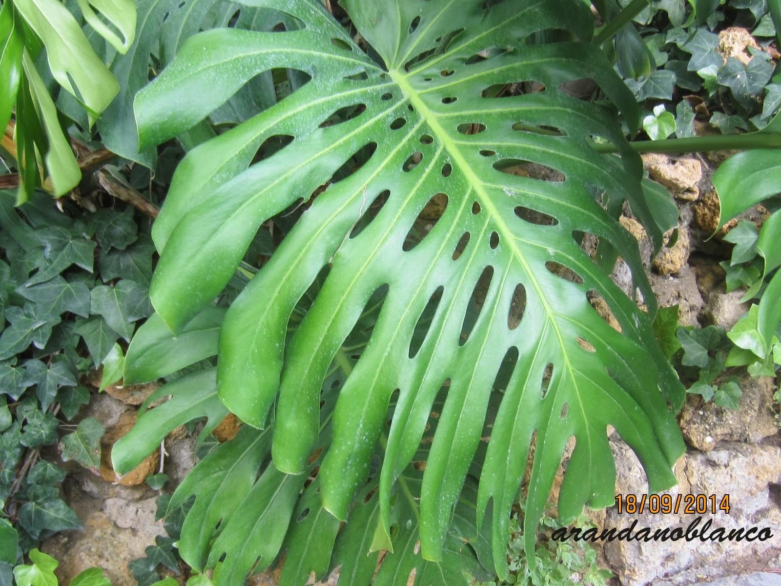 Arbustosensevilla encinarosa costilla de ad n monstera for Planta ornamental oreja de elefante