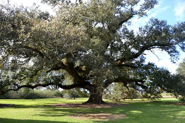 Quercus virginiana - знаменитые дубы Юга США