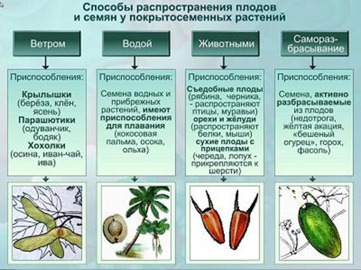 кукуруза способ распространения плодов и семян