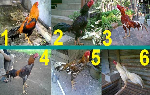 Mengenal Jenis Jenis Ayam Bangkok Berdasarkan Katuranggan
