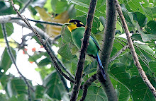 Long-tailed Broadbill_2011