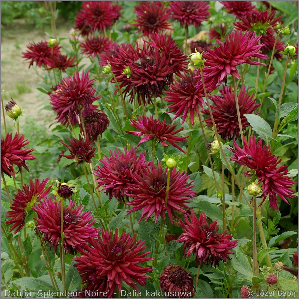 Dahlia 'Splendeur Noire' flowers  - Dalia kaktusowa 'Splendeur Noire' kwiaty