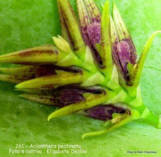 Pleurothallis pectinata , microorquidea