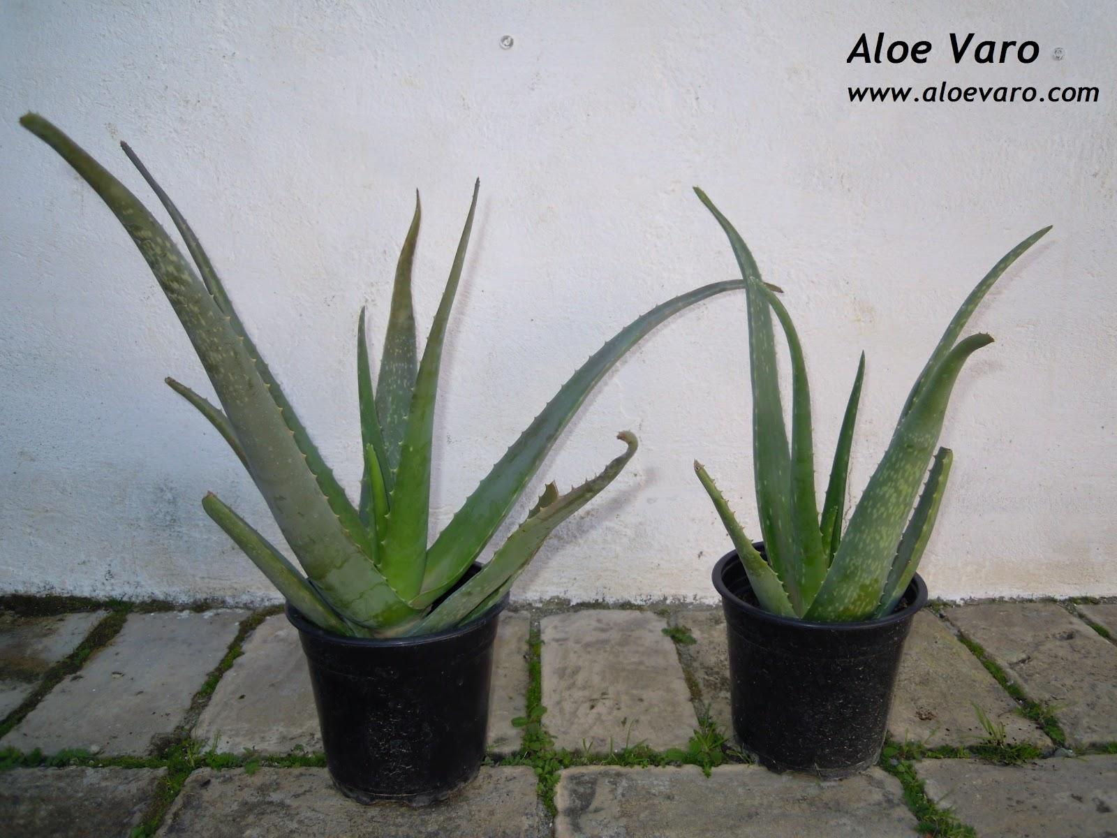 Aloe varo venta de macetas de aloe vera - Como es la planta de aloe vera ...