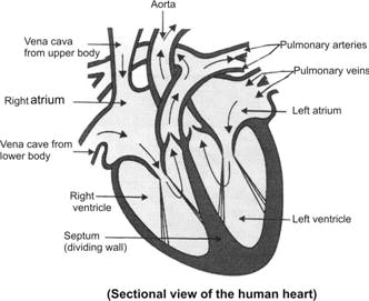 Draw a well labeled sectional view of human heart showing the ...