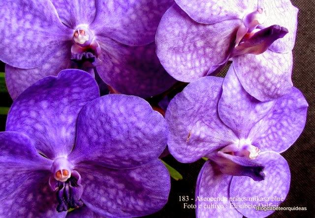 Vanda ,Orquídea Vanda