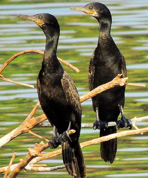 Indian cormorant | Birds of India | Bird World