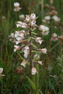 Marsh Helleborine (Epipactis palustris)