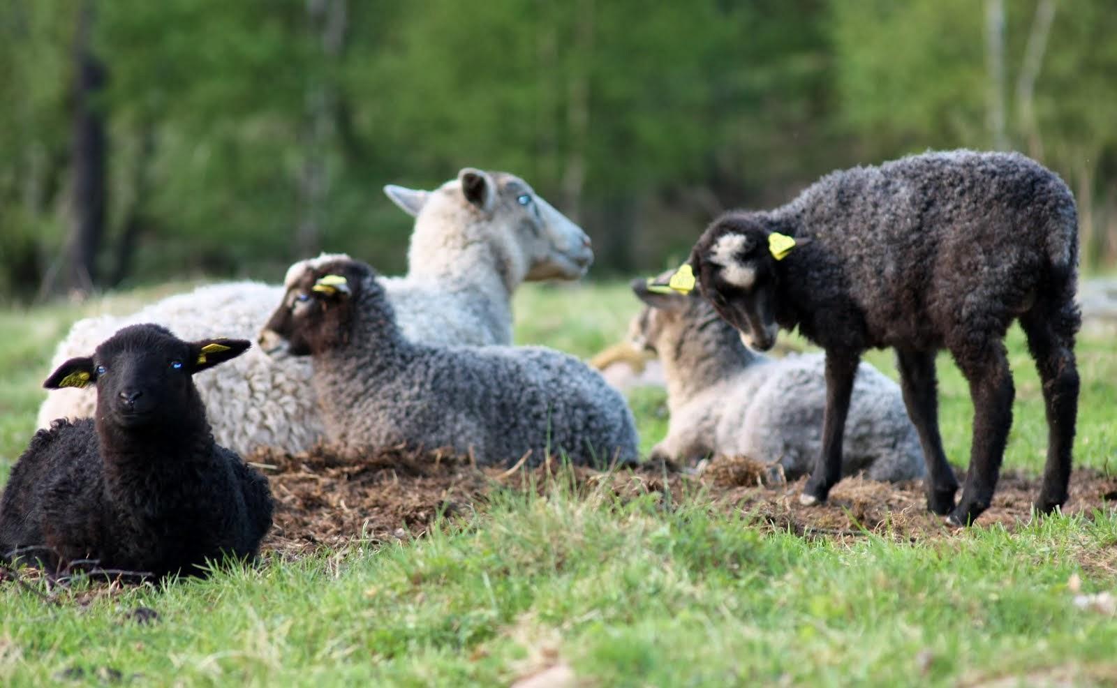 Lammen i fårhagen