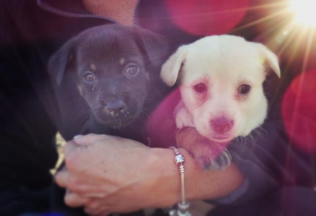 pies do adocji