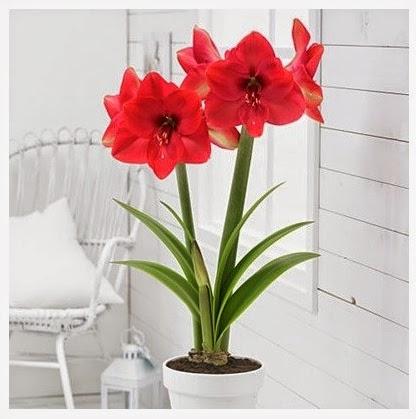 http://www.americanmeadows.com/flower-bulbs/amaryllis-flower-bulbs/lagoon-amaryllis-bulb