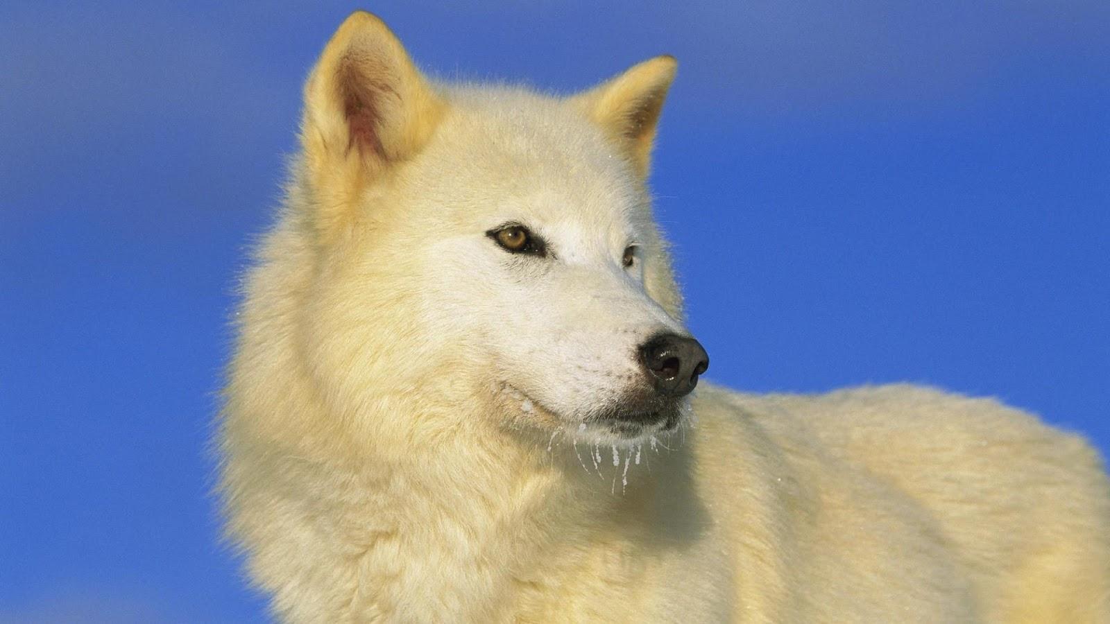 http://3.bp.blogspot.com/-0oxEgCvm1gs/T8cpWeAoBoI/AAAAAAAAaM4/t-_MmEdOyzw/s1600/arctic-wolf-wallpapers-1920x1080.jpg