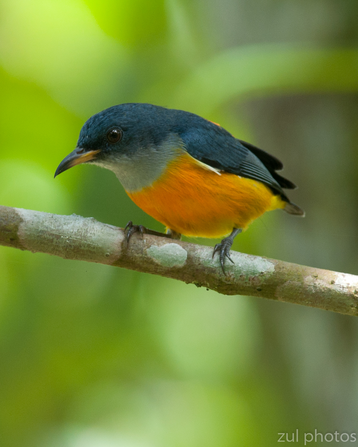 Zul Ya - Birds of Peninsular Malaysia: Orange Bellied ...