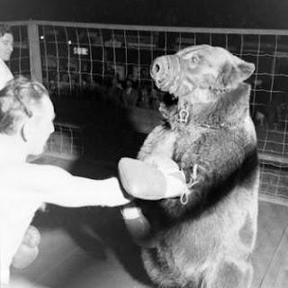 Pertandingan Tinju Manusia VS Beruang