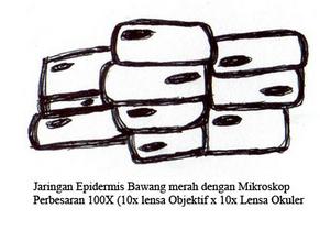 Jaringan Epidermis Pada Bawang