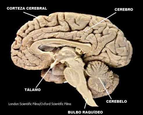 Cuerpo Humano - anatomía y fisionomía humana El