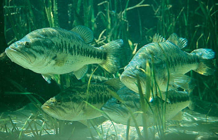 freshwater fish pictures