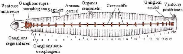 biologist give a brief description of hirudoLeech Anatomy Diagram #21