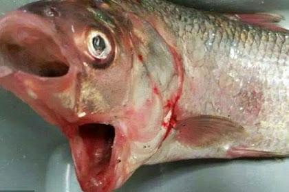 Ikan Bermulut Dua Ditemukan di Pantai Australia