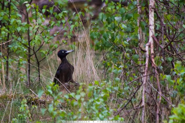 Zwarte Specht - Black Woodpecker - Dryocopus martius (ad f)