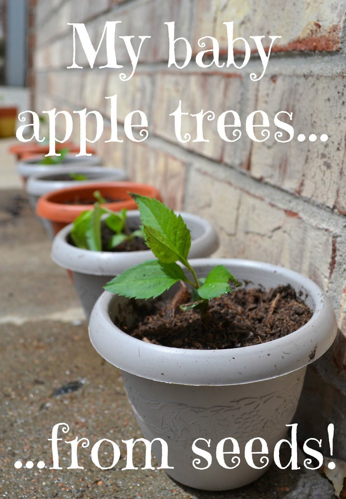 youtube how to grow a apple tree from seed