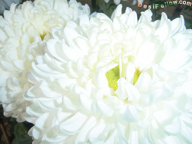 Indian white Chrysanthemum photo