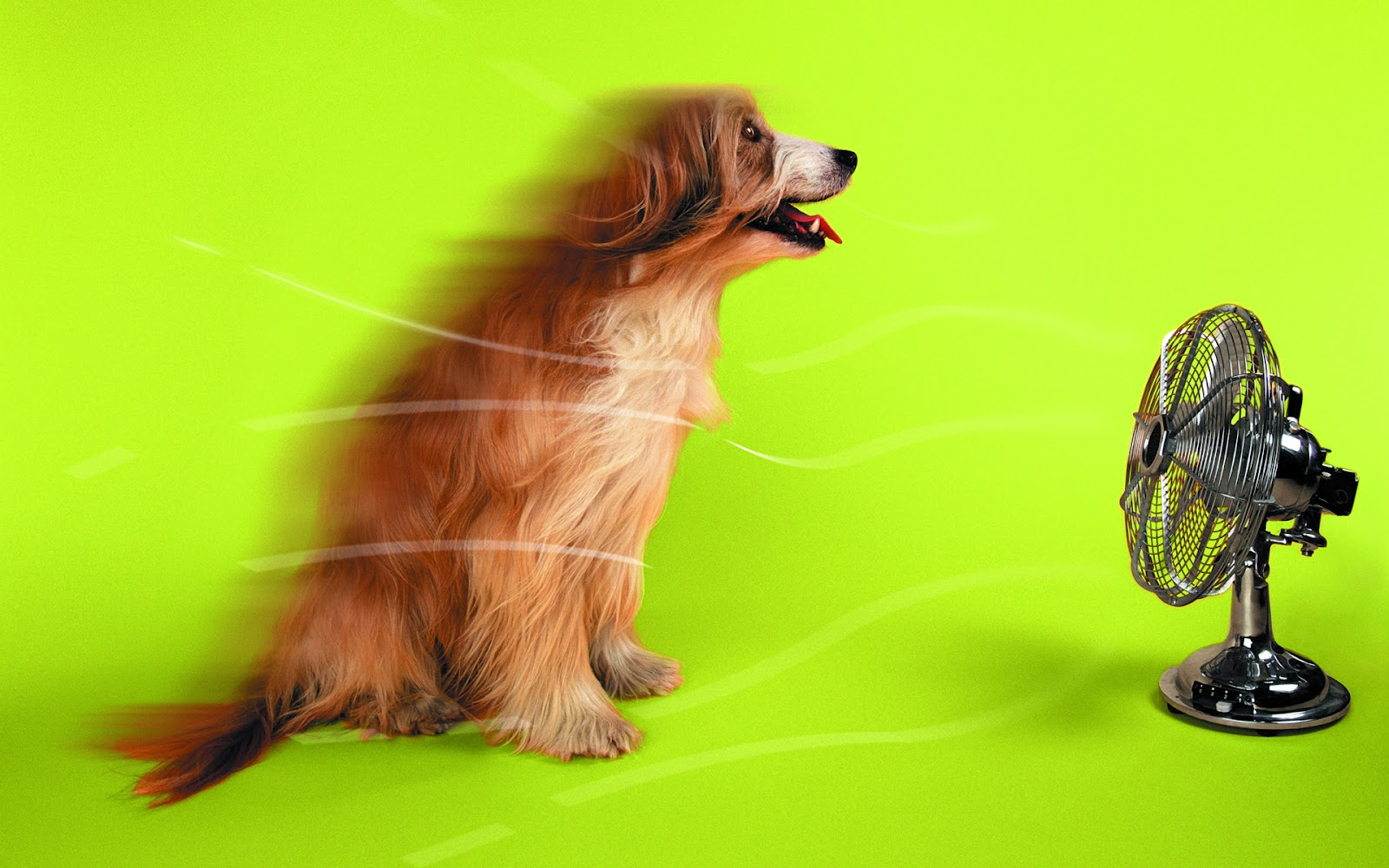 Dog With Fan : High resolution wallpaper funny cats dogs wallpapers