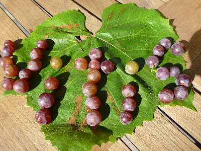 Vitis Spelled with Concord Grapes