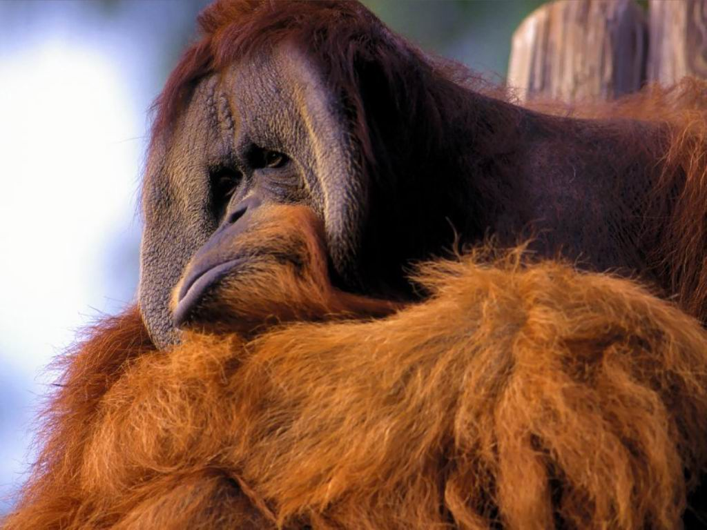 http://3.bp.blogspot.com/-0r4hMJHxOx8/T-6QvLXX4tI/AAAAAAAACnk/BVFvNJ7MQtk/s1600/Monkey+Sleep+Pictures+Free.jpg