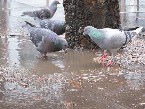 Pigeon searching food