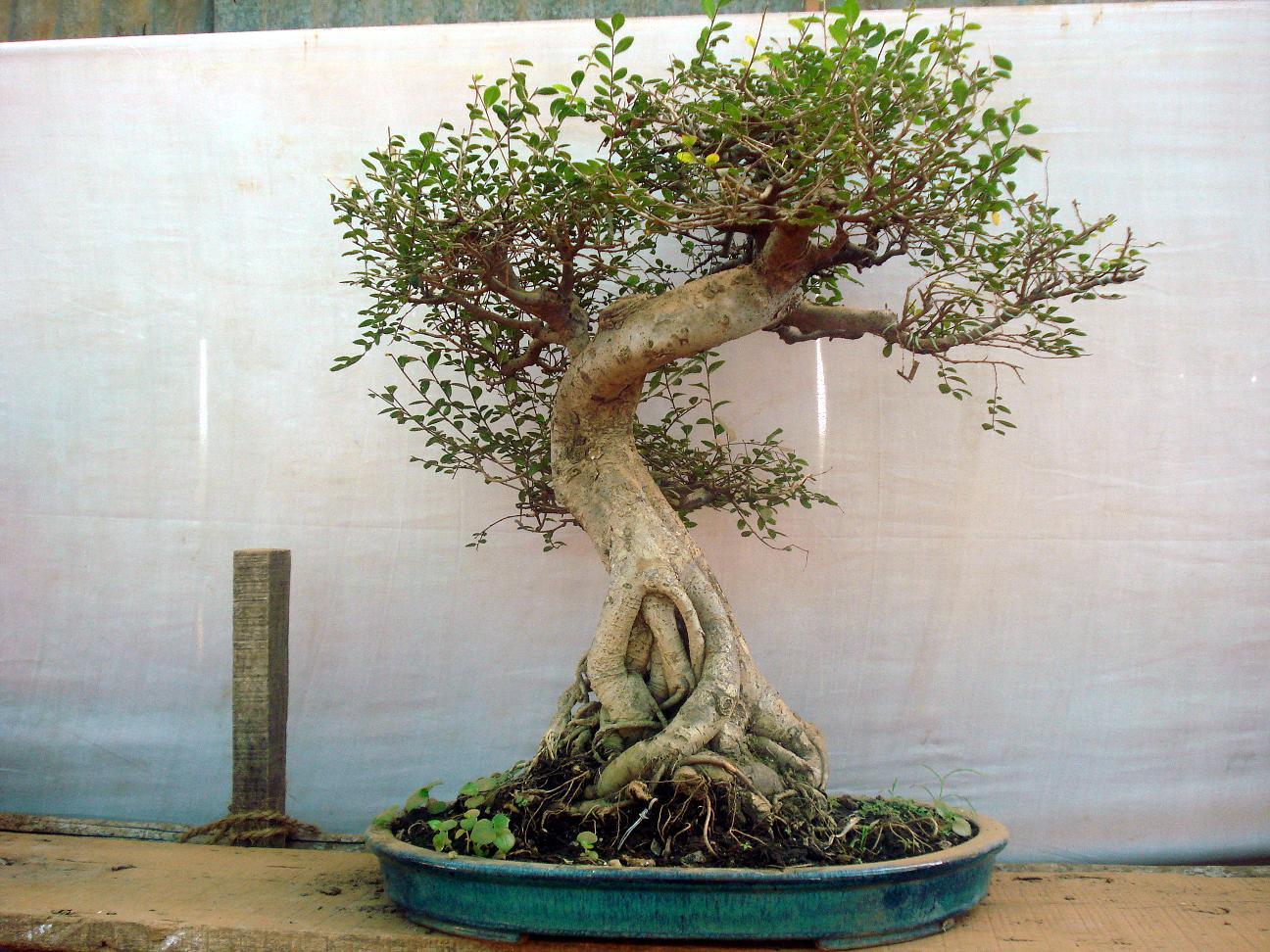 Fourth eye bonsai for Bonsai tree pics