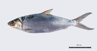 Milkfish, a silvery scaled fish