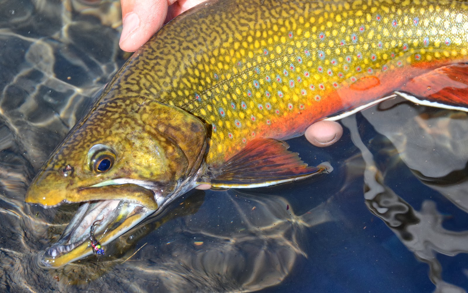 Brook trout  Wikipedia