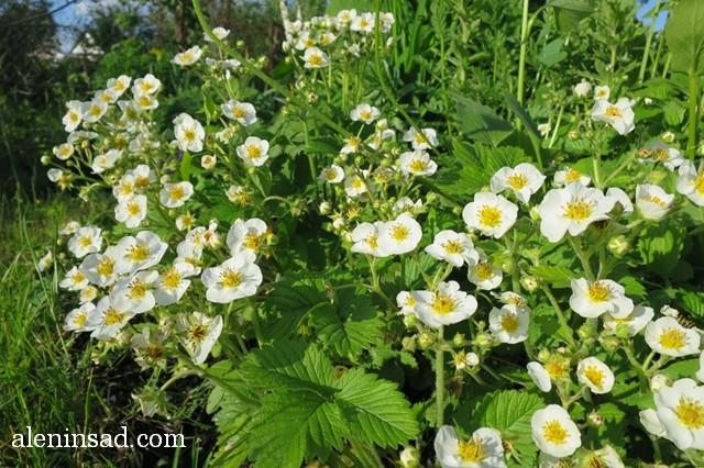 земклуника, цветы, цветение, земляника, клубника, аленин сад
