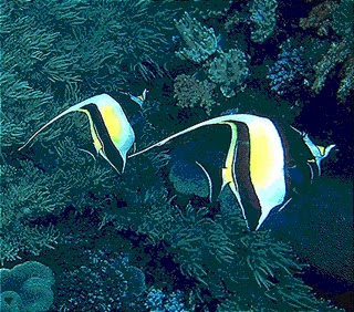 Long Fin Angelfish