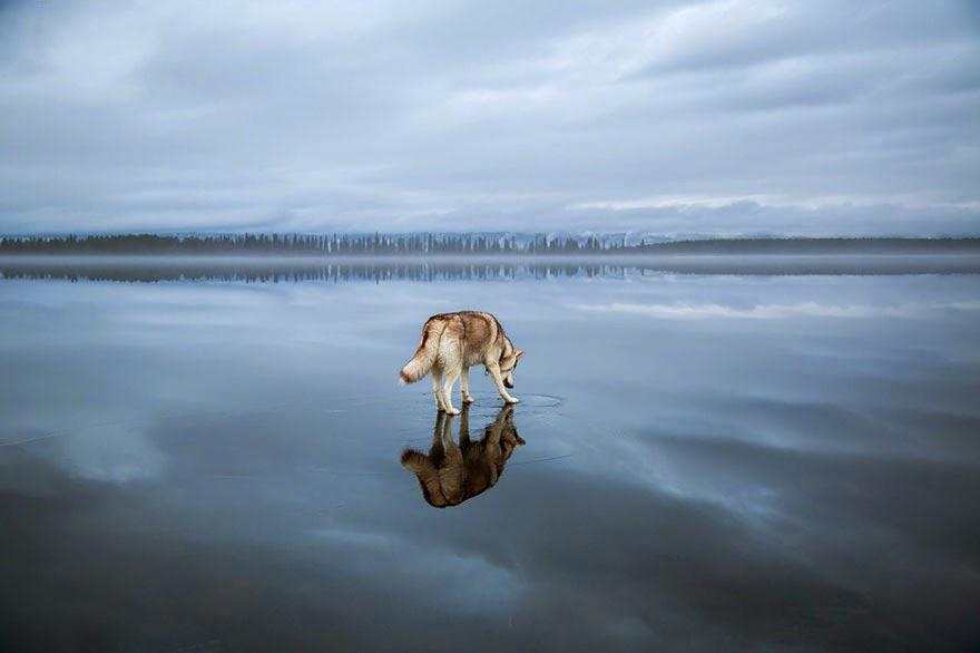 siberian husky playing frozen lake fox grom-3