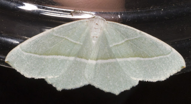 Light Emerald, Campaea margaritata.  Geometer.  Moth morning on Sevenoaks Wildlife Reserve, led by Susanna Clerici.  14 August 2011.