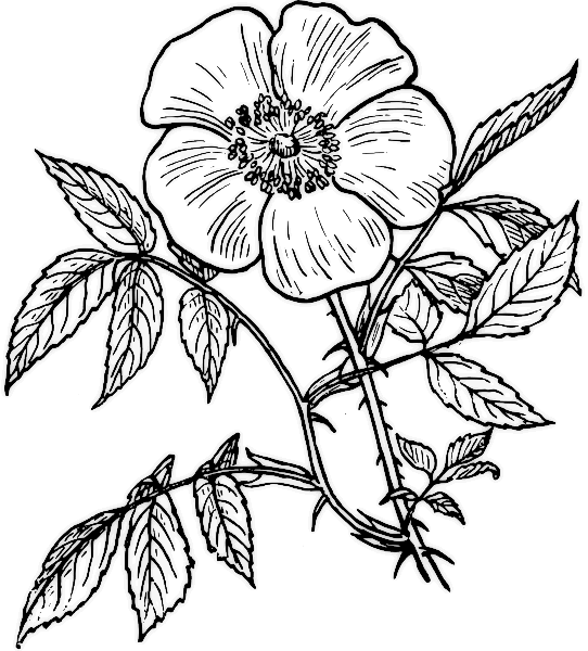 Rose Flower Clip Art Coloring Pages