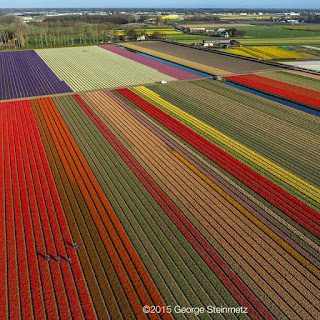 tulip fields of The Netherlands