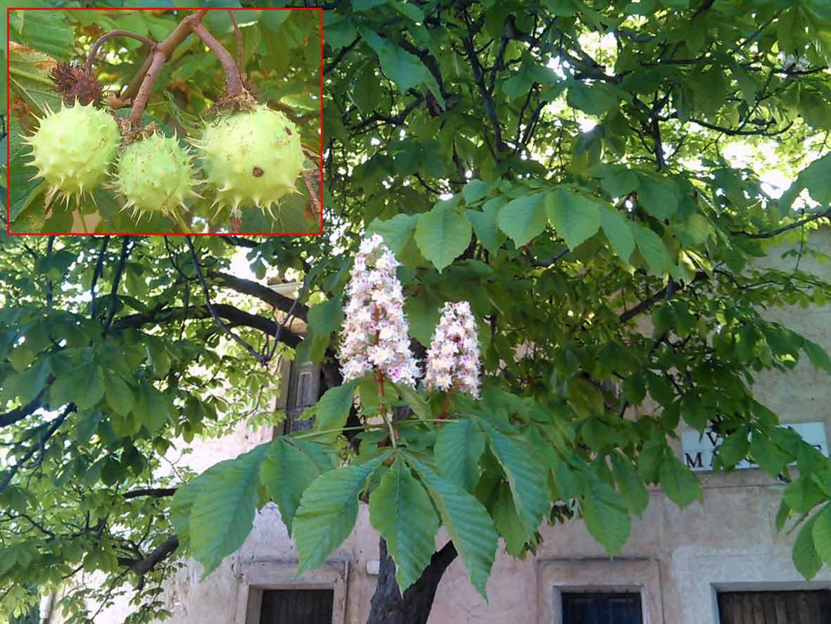 Castanyer d'Índia (Aesculus hippocastanum). Detall del fruit
