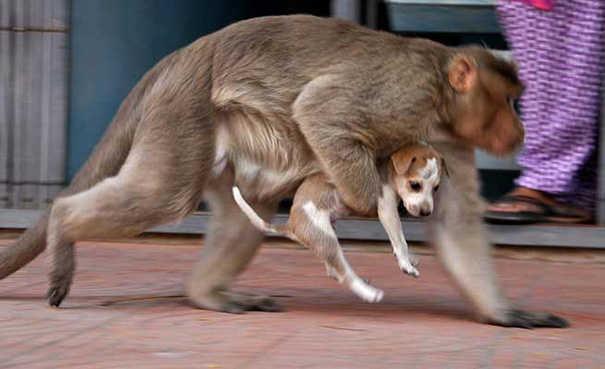 Un mono adopta un perro