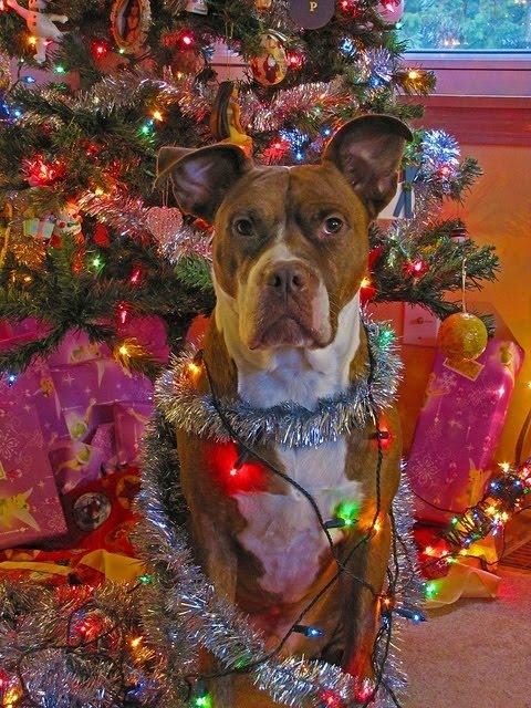 christmas lightstinsel a pitbull mix